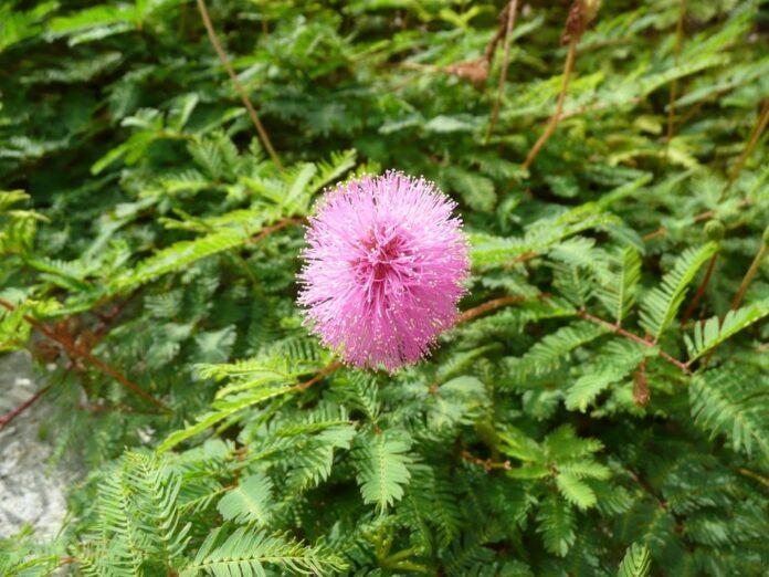 Mimosa pudica o mimosa sensibile
