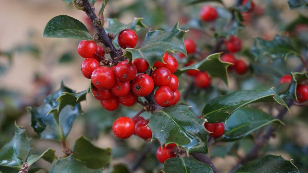 Agrifoglio: (Ilex aquifolium)