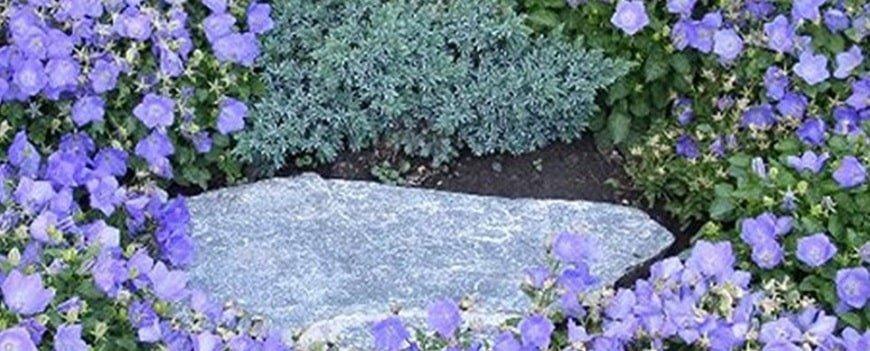 campanula dei carpazi giardini rocciosi