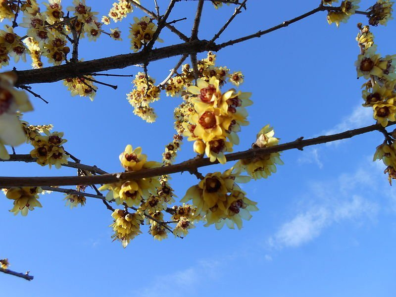 Calicanto (Chimonanthus praecox)
