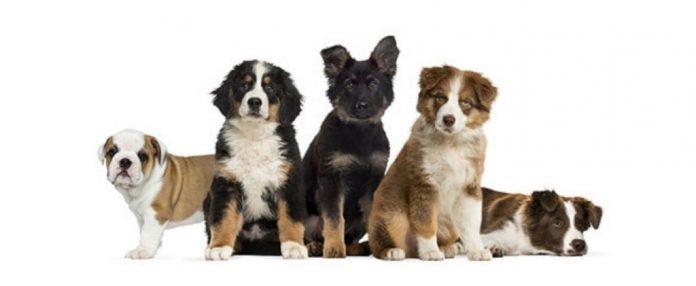 Cani di razza quali scegliere