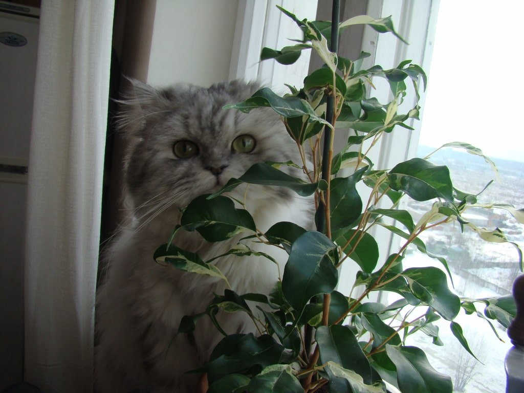 Ficus Benjamin Perde Foglie ficus benjamina varietà e coltivazione - notizie in vetrina