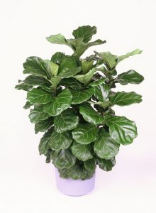 Ficus Lyrata o Pandudurata