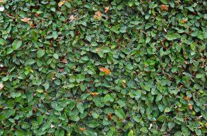 Ficus Pumila o Ficus repens
