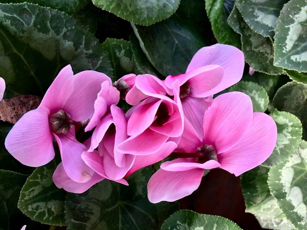 I Ciclamini fiori primaverili
