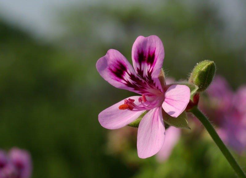 geranio edera fiori