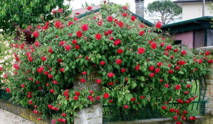 Rose: Paul'scarlet climber rampicante rifiorente