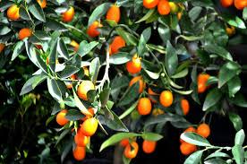 kumquat  mandarino giapponese