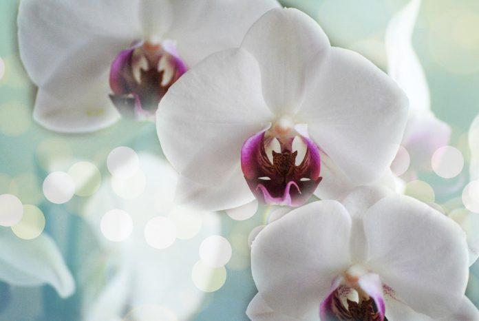 Orchidee: Cymbidium