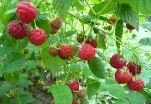 Lampone (rubus idaeus) frutto e pianta