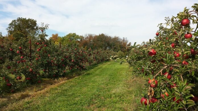 alberi da frutto meli