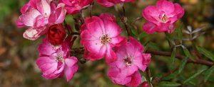 Rose antiche rifiorenti: Yesterday