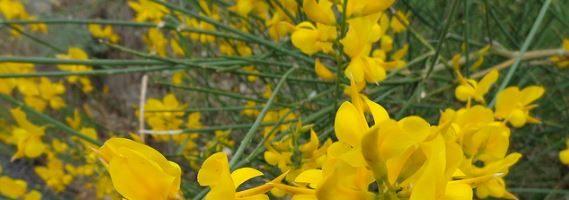 Ginestra Spartium junceum piante da giardino