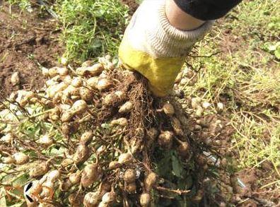 Coltivare arachidi: raccolta