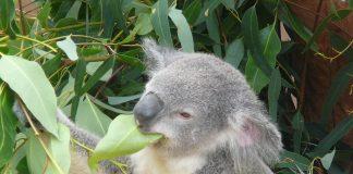Eucalipto o Eucalyptus globulus pianta fitoterapica