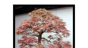 Come ottenere un bonsai da talea