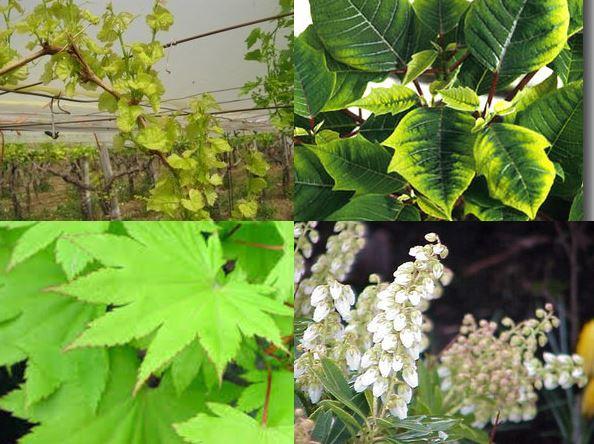 Carenza di ferro: clorosi ferrica e ingiallimento delle foglie