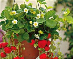 Come coltivare le fragole sul terrazzo o balcone