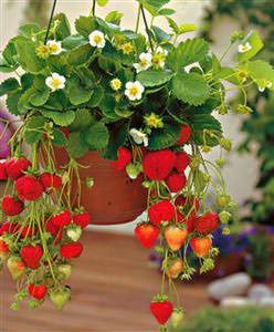 Come coltivare le fragole sul terrazzo o balcone notizie for Pianta di fragole