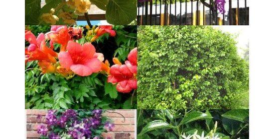 Piante rampicanti: quali scegliere per giardino e terrazzo