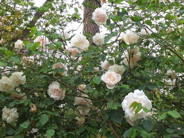 Rose: i fiori per tutte le occasioni