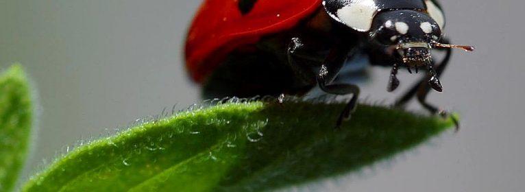 Coccinelle nei giardini: coleotteri utili per la battaglia biologica