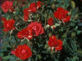 rosai a cespuglio