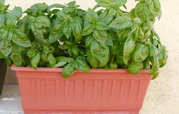 Coltivare il basilico in inverno come fare
