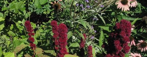 Amaranto tricolore – Amaranthus gangeticus caratteristiche