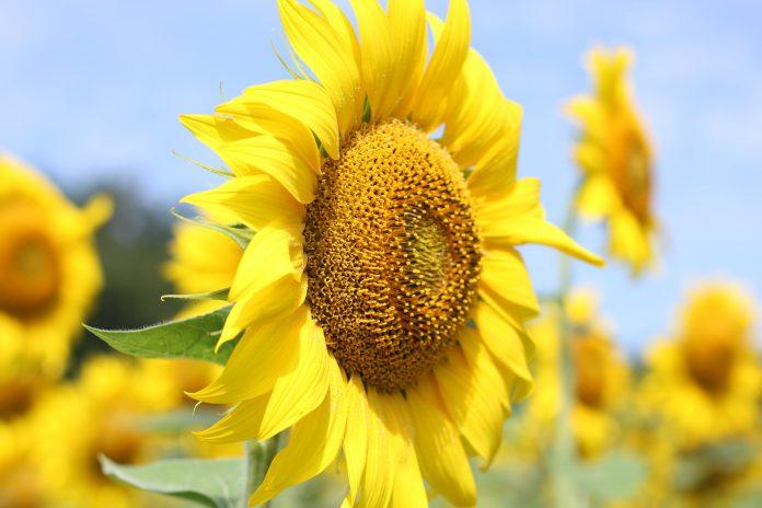 Girasole pianta officinale e proprietà fitoterapiche