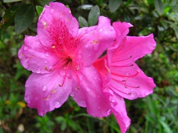 azalea rododendro fiore