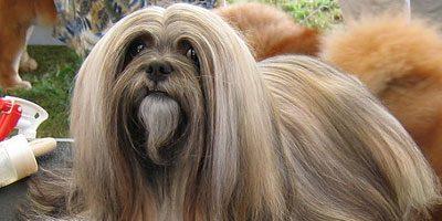 Lhasa apso cane tibetano con pelo lungo taglia piccola for Nomi per cani maschi taglia piccola