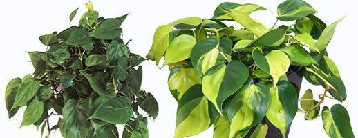 Philodendron o filodendro: specie e coltivazione