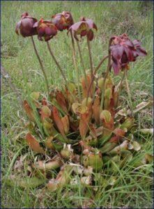 sarracenia purpurea pianta carnivora