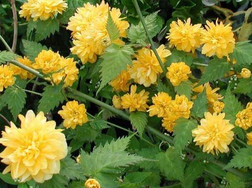 I fiori in primavera colori in giardino notizie in vetrina for Kerria japonica