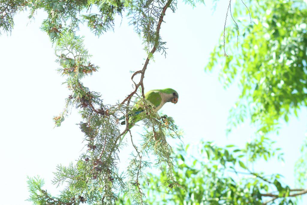 pappagalli: parrocchetto dal collare