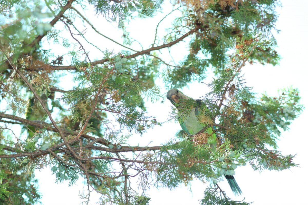 Roma Pappagalli in giardino fauna esotica il parrocchetto dal collare