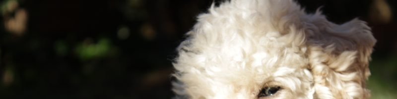Come lavare un cane a secco nel miglior modo: 3 metodi