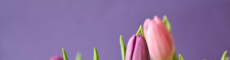 Bulbi di tulipano: tutti i segreti per prendersene cura