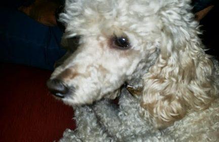 Top 10 delle razze di cani più intelligenti