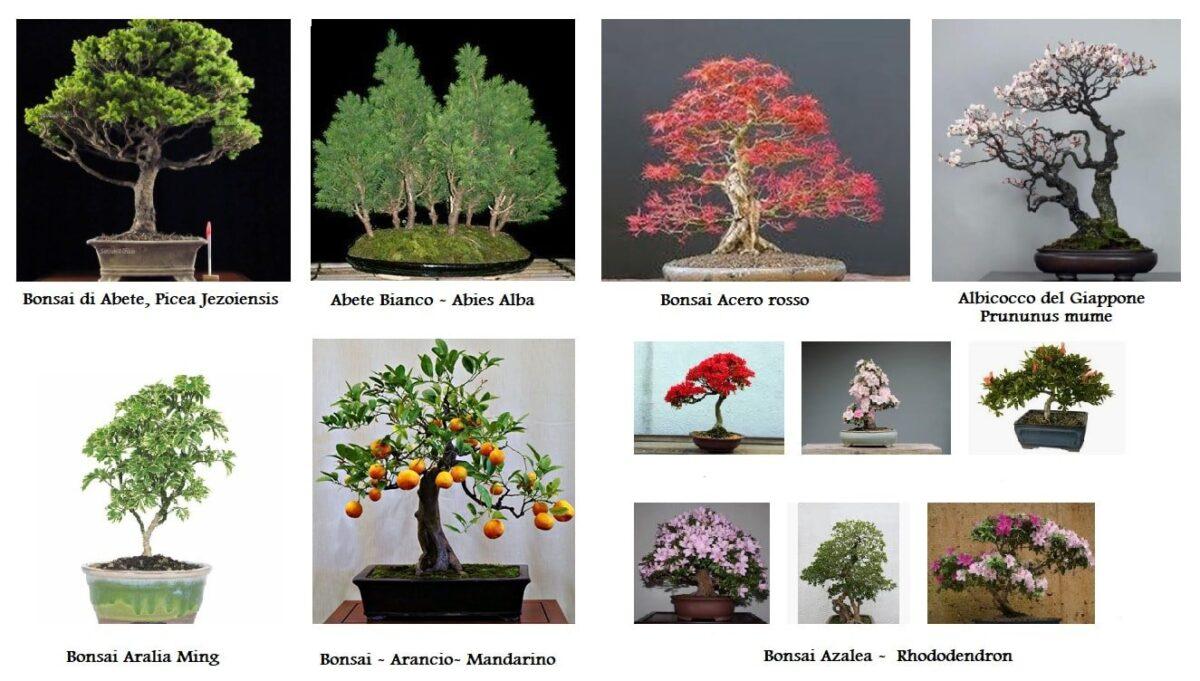 Bonsai norme colturali: Abete, Acero, Albicocco, Aralia, Arancio, Azalea