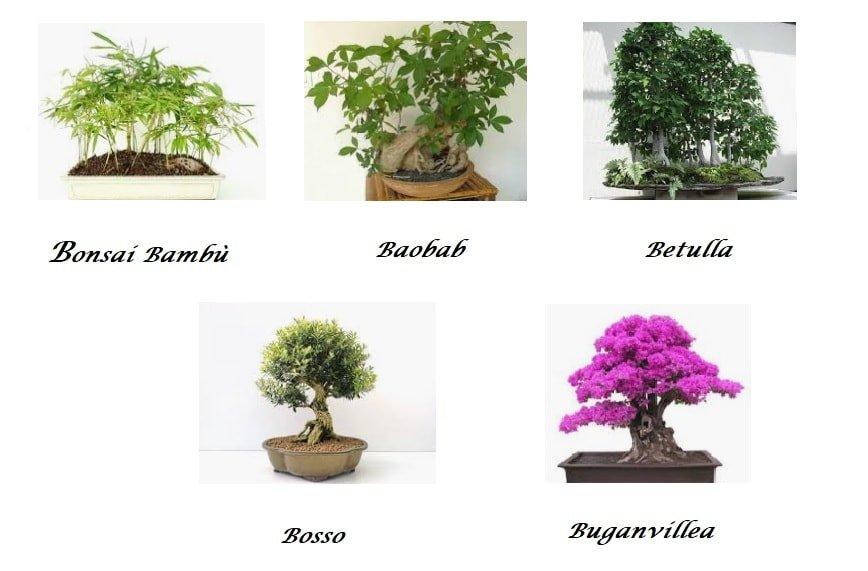 Bonsai come coltivare Bambù, Baobab, Betulla, Bosso e Buganvillea