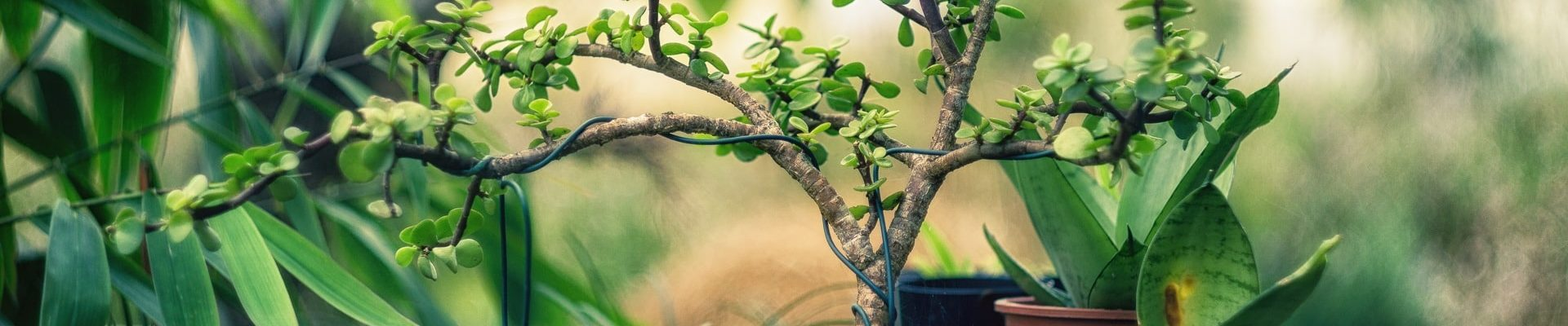 Bonsai al chiuso e bonsai all'aperto quali sono le differenze