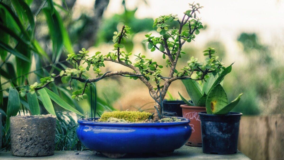 Bonsai al chiuso e bonsai all'aperto quali sono le differenze - legatura rami