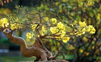 Bonsai di Calamandino, Camelia e Carpino coltivazione