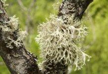 """Lichene Islandico """"Cetraria""""pianta fitoterapica ricca di ferro"""