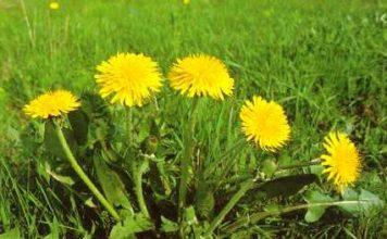 Tarasacco o Taraxacum officinale selvatica per insalate