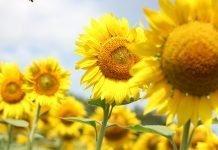 Sognare un girasole, girasoli, semi di girasole: significato, simboli, numeri