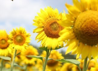 Sognare un girasole, girasoli, semi di girasole: significato, simboli, numeri