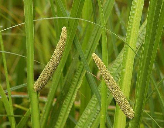 Calamo Aromatico, Acorus calamus pianta acquatica fitoterapica
